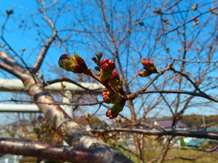 3-25桜e