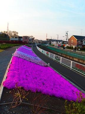 4-13芝桜e
