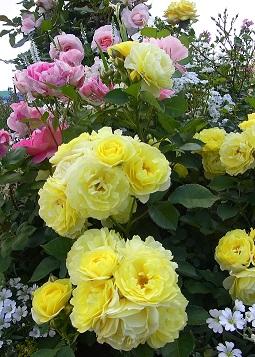 5-16バラ(黄色)e