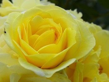 5-16黄色バラ2e
