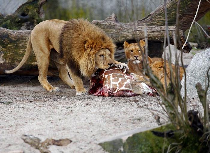マリウス ライオンのエサに