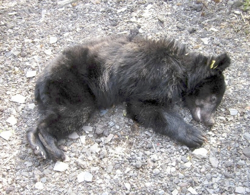 裾野市クマ再捕獲