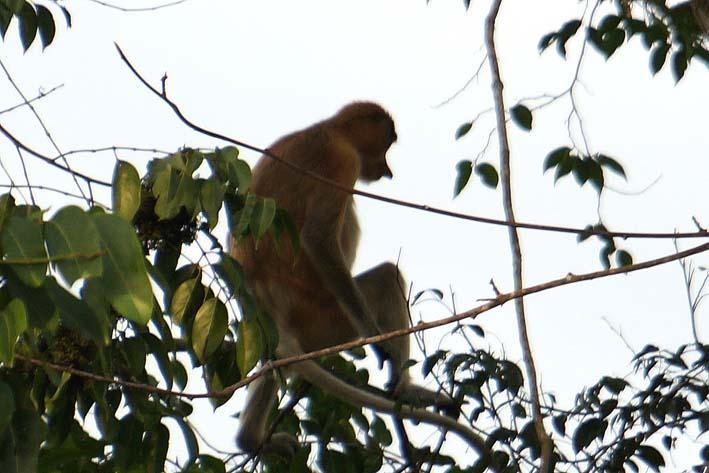 20140421 野生のテング猿 25cm DSC07004