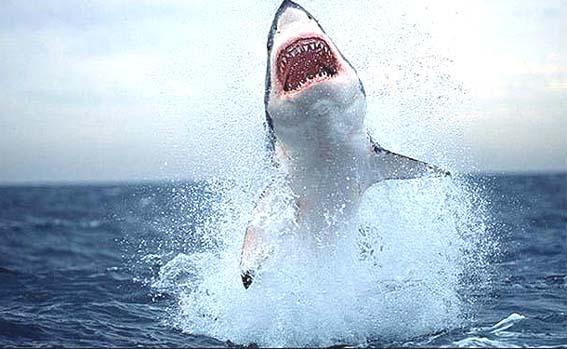 サメ2 20㎝