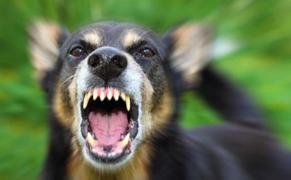 弱い犬 吠えるFotolia_440 20㎝