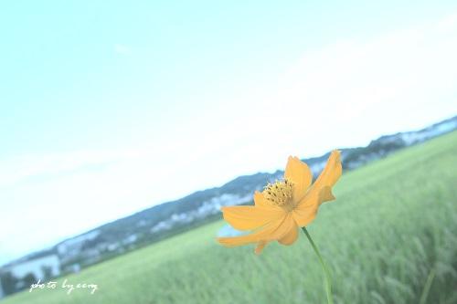144黄花コスモス