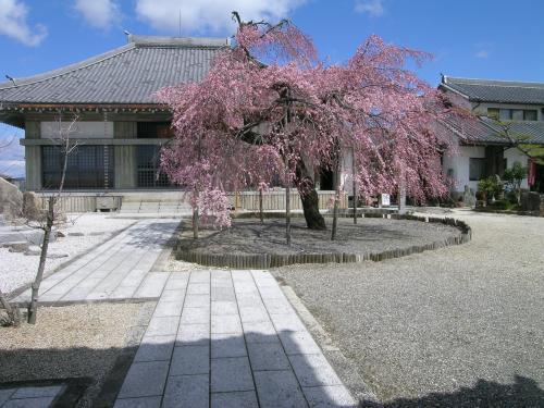 3月21日枝垂桜