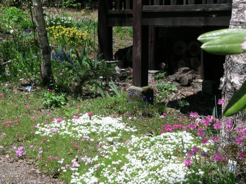 5月18日芝桜