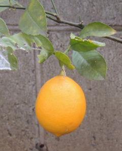4-レモン0223