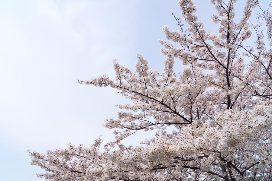 20140417_桜_2