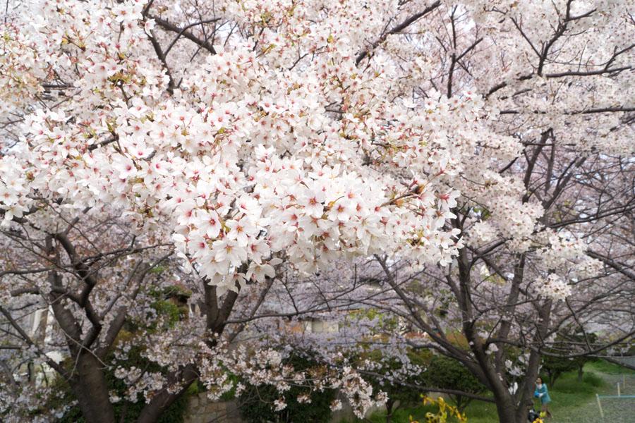 20140417_桜_3