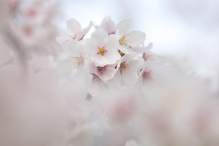 20140419-2_桜_1