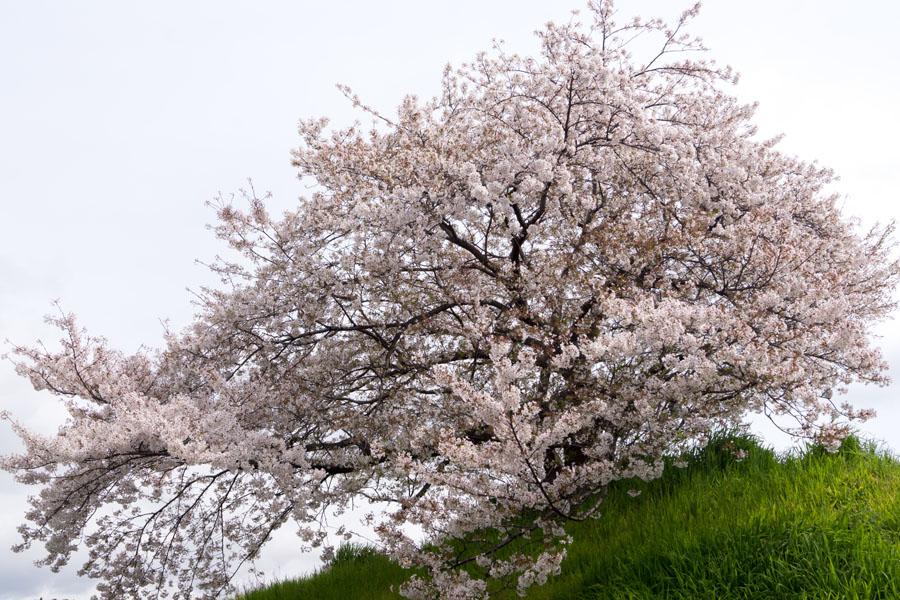 20140423_桜_1