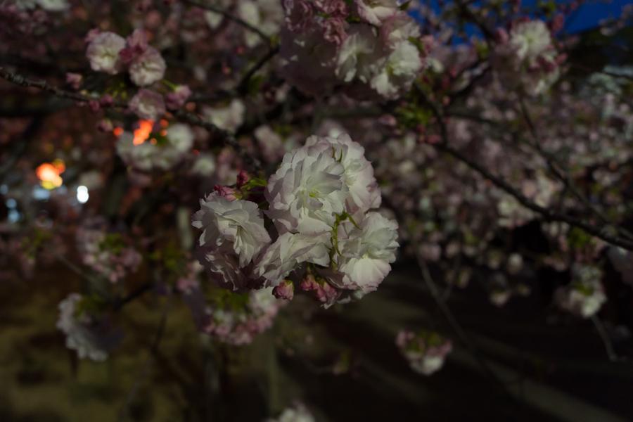 20140429-3_桜_5