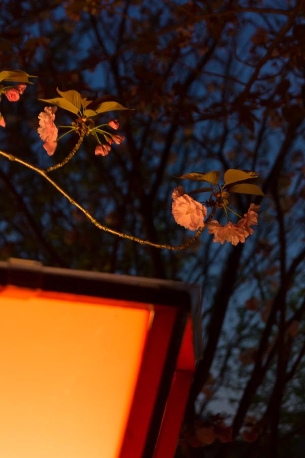 20140501-1_桜_2