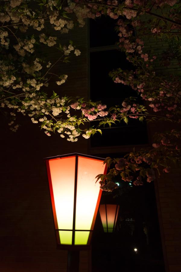 20140501-1_桜_6