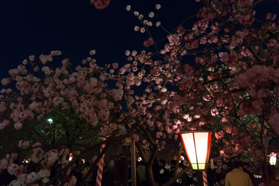 20140502-2_桜_5