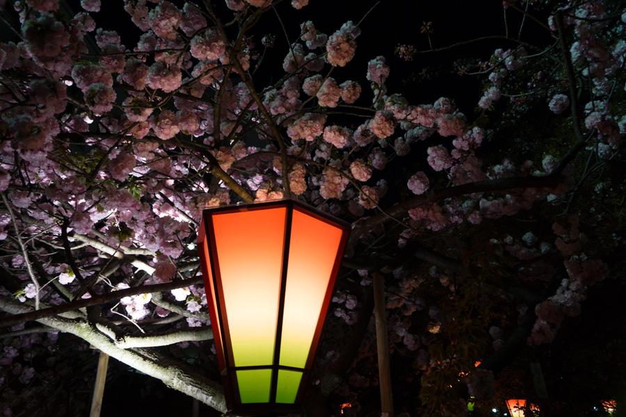 20140504_桜_1