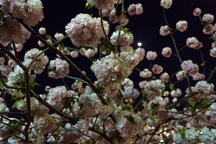 20140504_桜_3
