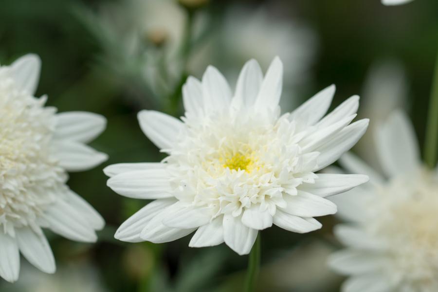 20140620-2_白い花たち_2