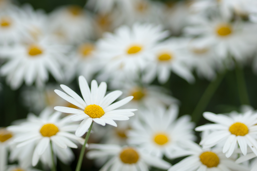 20140620-2_白い花たち_3