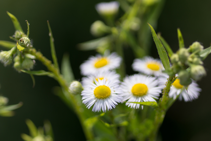20140620-2_白い花たち_5