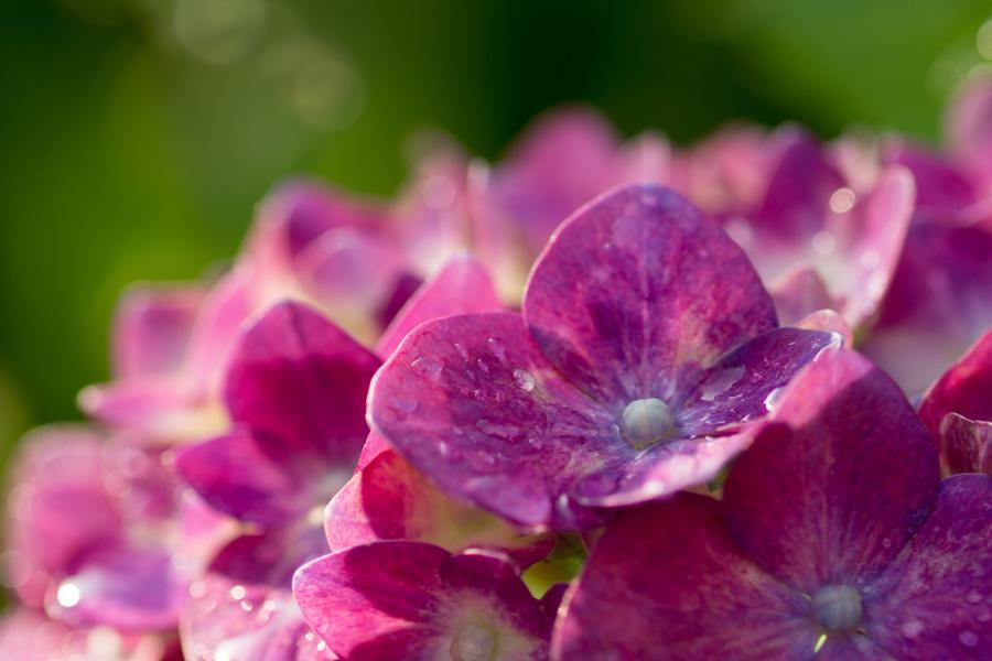 20140717_雨上がりの紫陽花_1