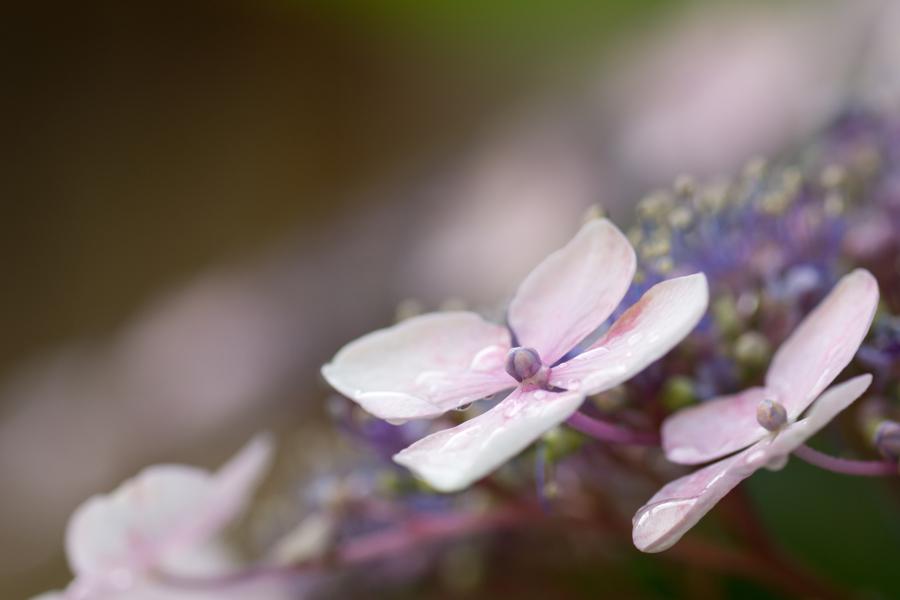20140717_雨上がりの紫陽花_5