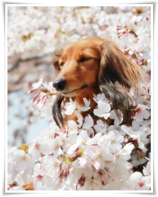 ティンクと桜2