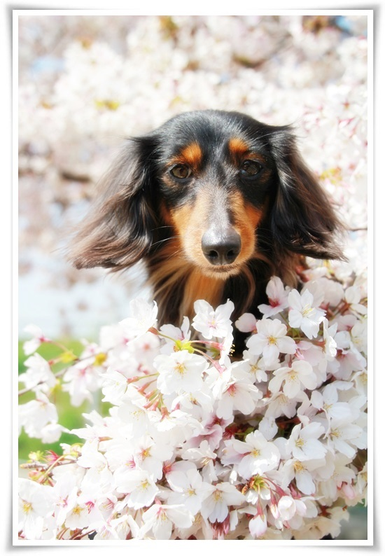 ベルと桜1