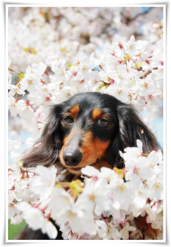 ベルと桜2