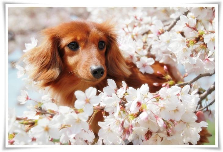 ニアと桜4