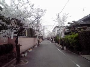 近所の桜並木(2014年4月 その1)