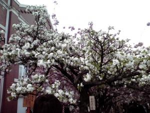 造幣局 桜の通り抜け 2014 Part6(市原虎の尾)