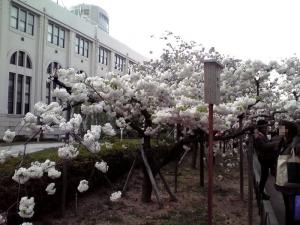 造幣局 桜の通り抜け 2014 Part6(松月)