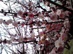 大阪城梅林 2014 前半 Part1(玉拳)