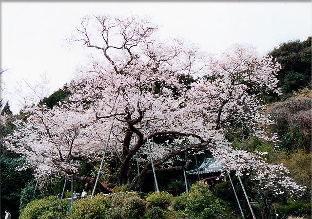 myojyo-sakura-1