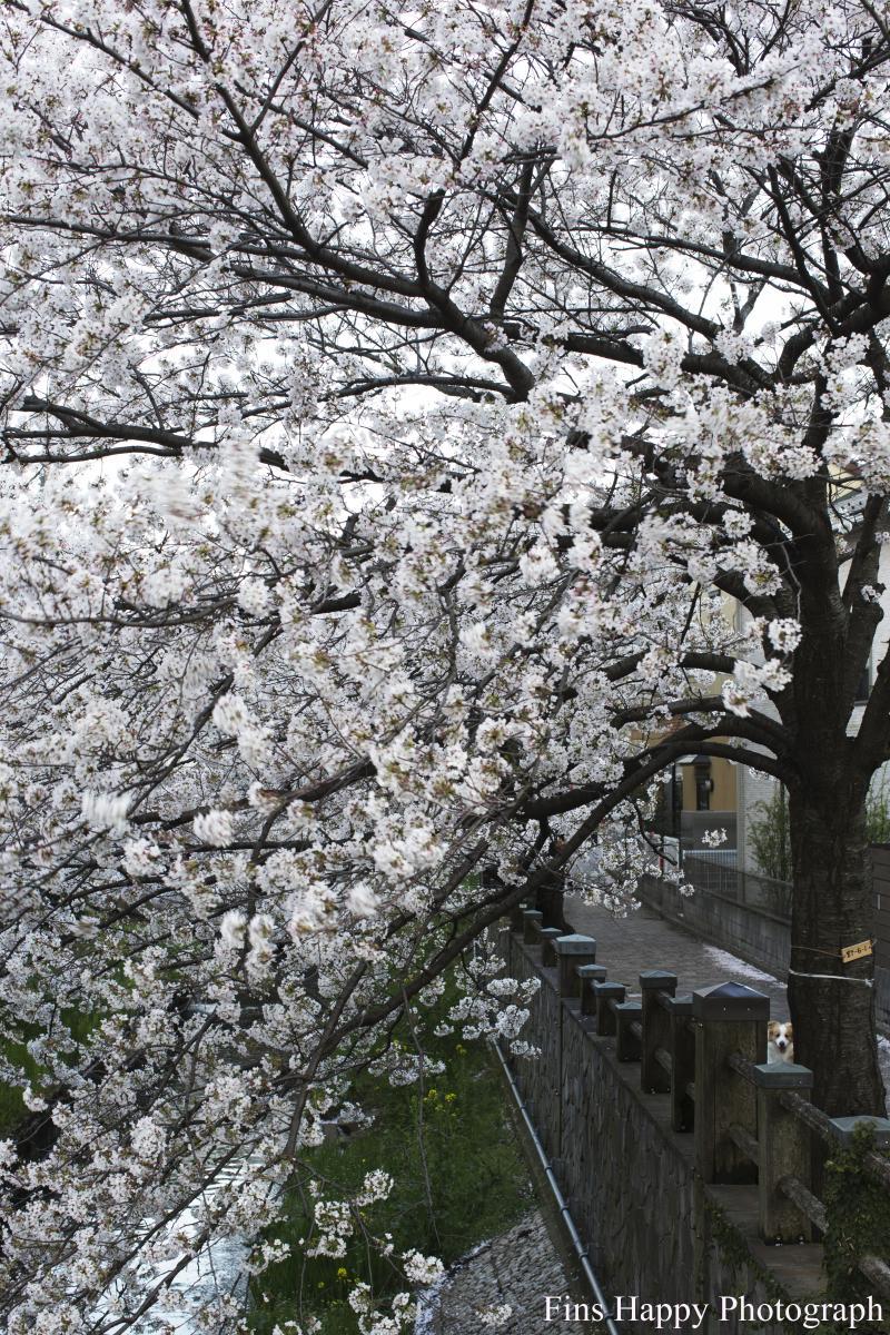 桜モザイク where ver