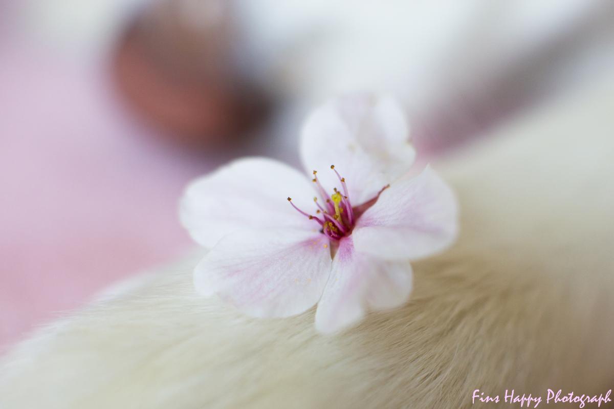 光の中の名残り桜