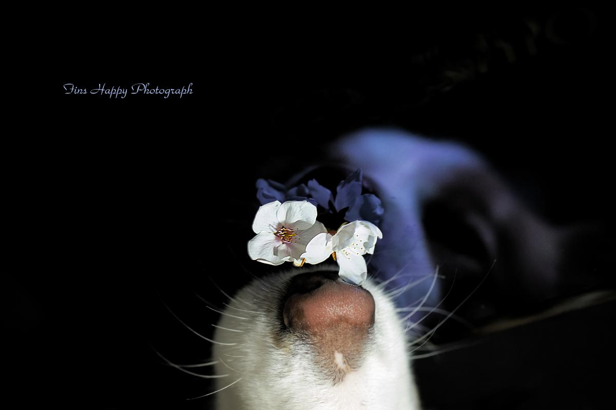 深青夜の名残り桜