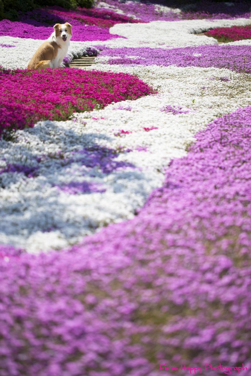桜色の波立つ浜辺の様