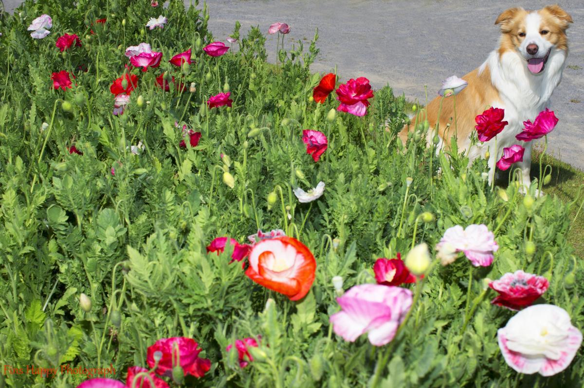 丘の上ヒナゲシの花が~♪