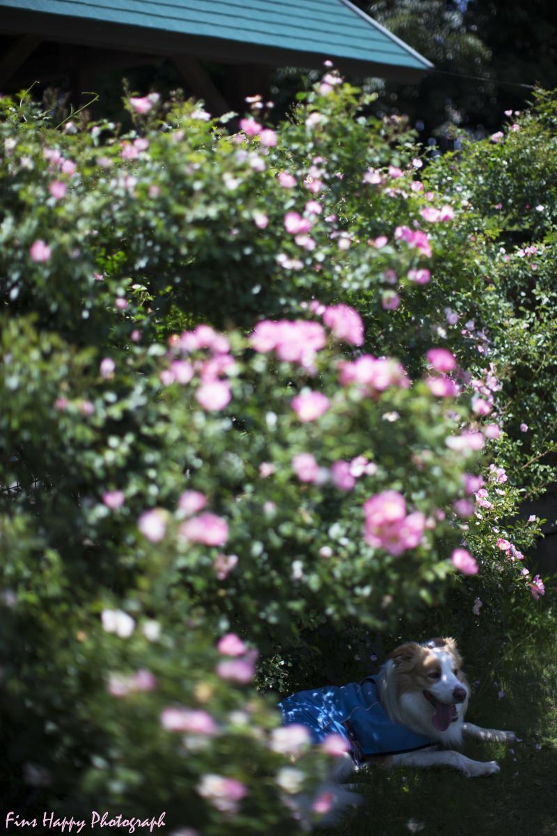薔薇の木陰で
