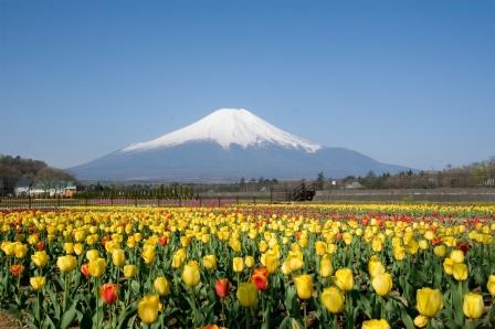 yamanakako-tulip-1.jpg