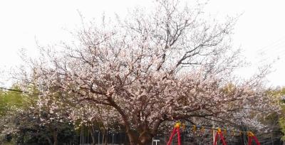 南千里の桜