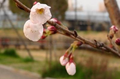 ゼミ桜周辺1