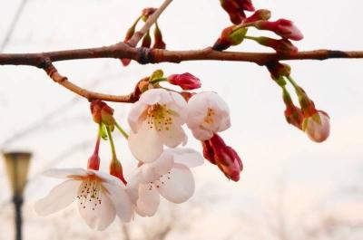 ゼミ桜周辺2