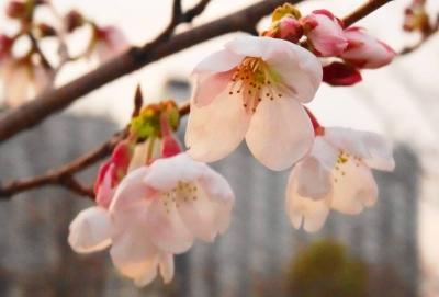 ゼミ桜周辺3