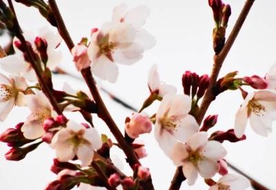 ゼミ桜周辺4