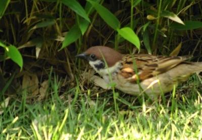 庭で遊ぶ雀